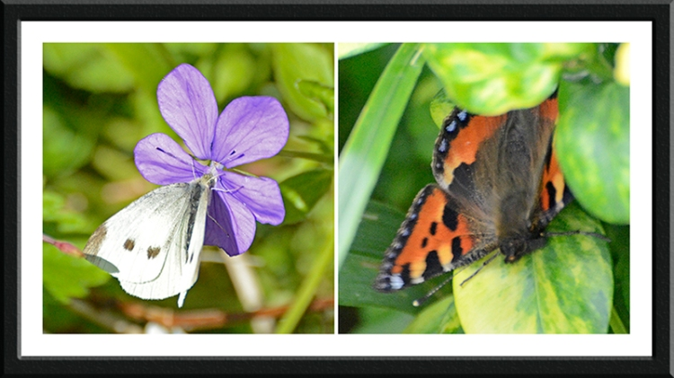 white and tortoiseshell butterflies