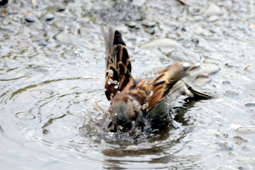 sparrow splashing