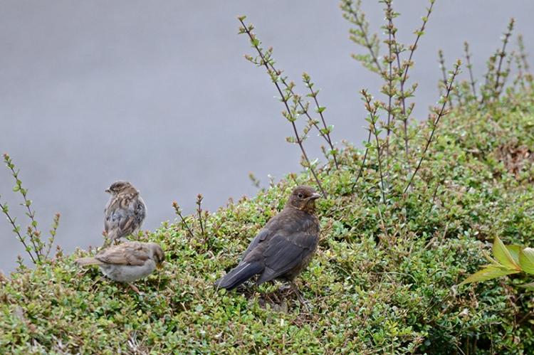 blackbird and sparrows
