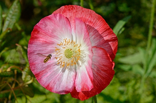 Poppy with insect