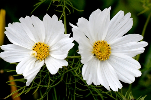 two cosmos
