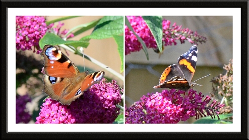 peacock and red admiral butterfly