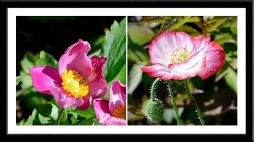 pink Japanese anemone.