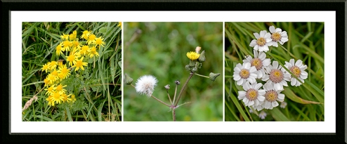 ragwort, hawkbit and daisy like thing