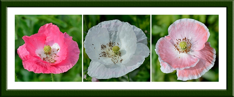 poppies with no pollen