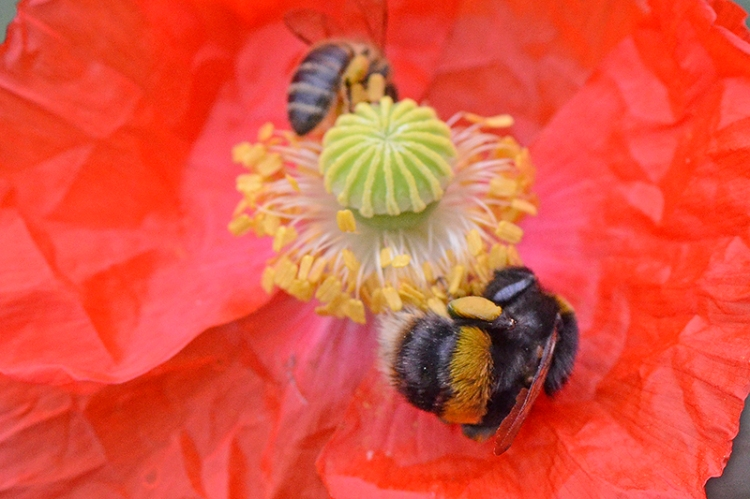 bees on poppies