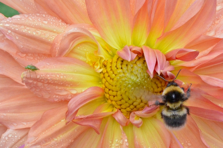 bee and greenfly on Dahlia