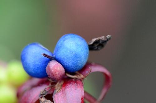 tropaeolum berries