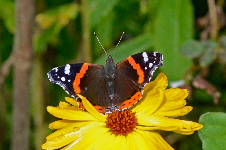 red admiral on marigold