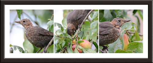 blackbirds on plums