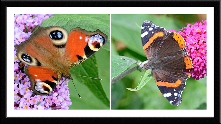 peacock and red admiral butterflies