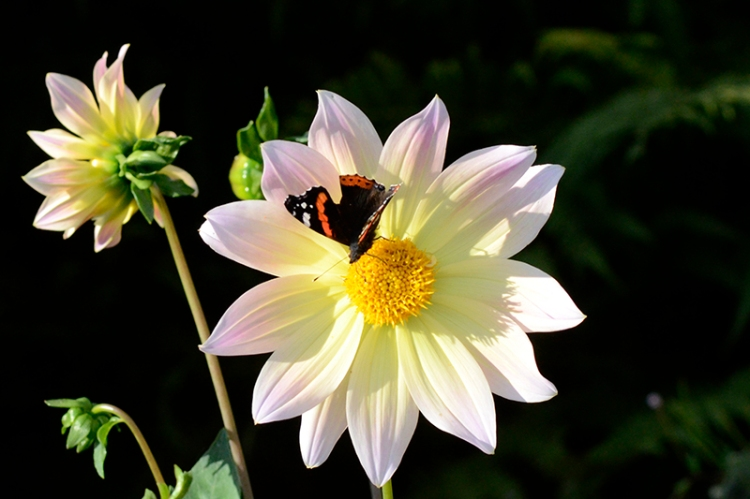 dahlia with red admiral butterfly