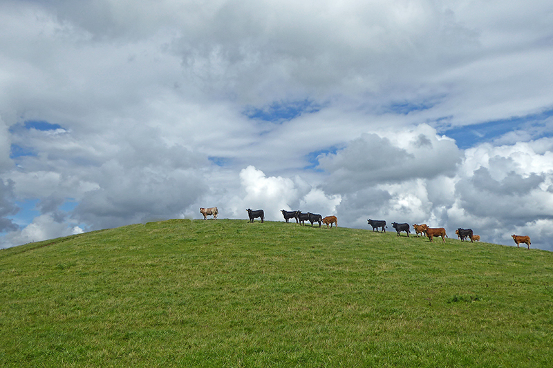 Cows at Mossknowe