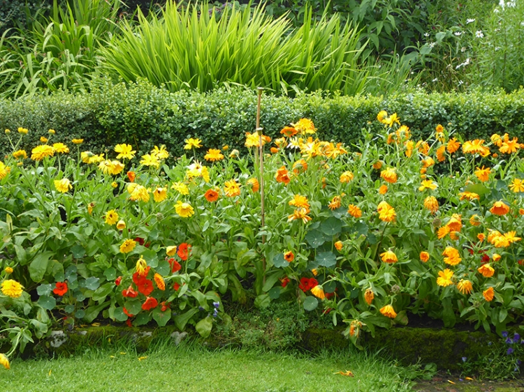 pot marigolds and nasturtiums