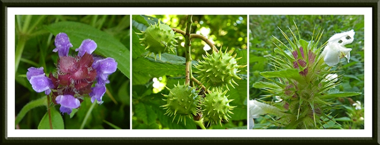self heal, conkers and white flower