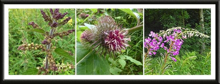 nettle, burr and rosebay willowherb