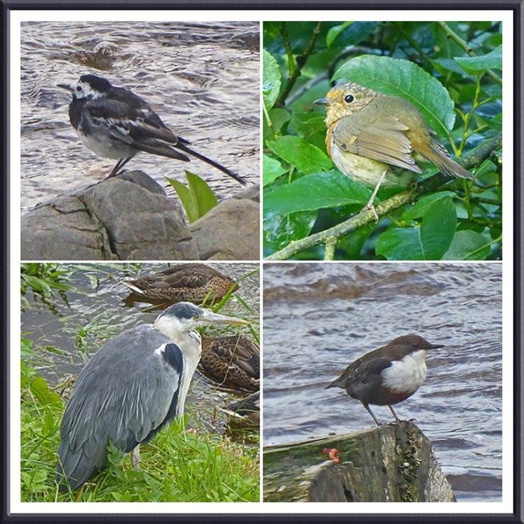 wagtail, robin, dipper and heron