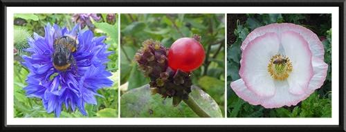 cornflower, honeysuckle and poppy