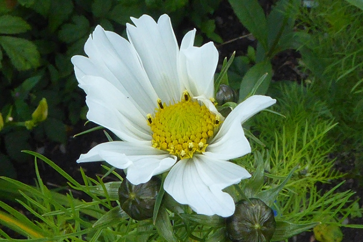 the first cosmos of the season