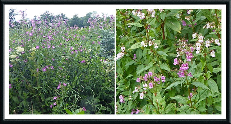 willowherb and balsam