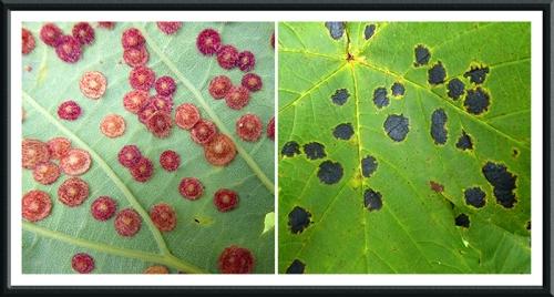 leaf problems