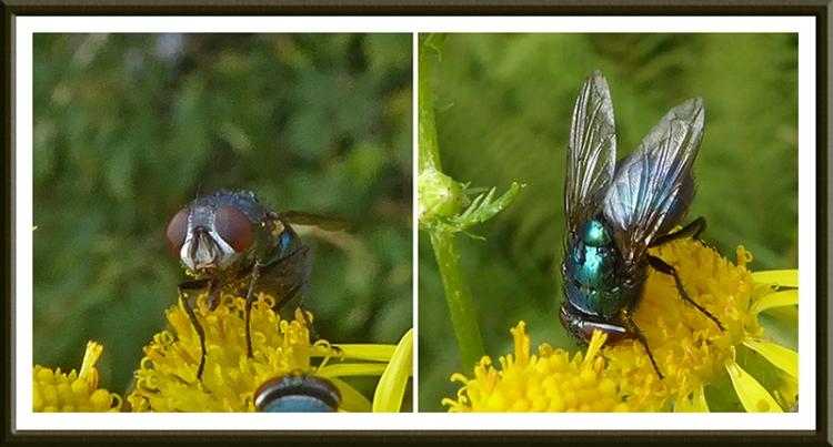 fly on ragwort