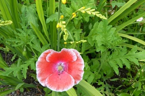 poppy with crocosmia