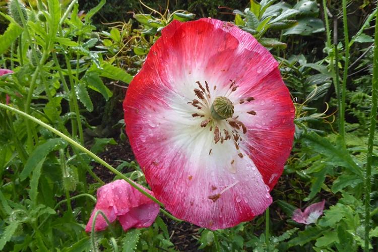 battered poppy