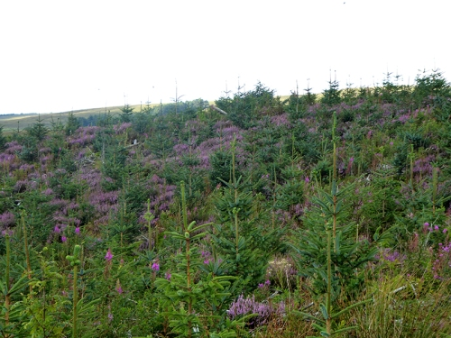 heather and young trees