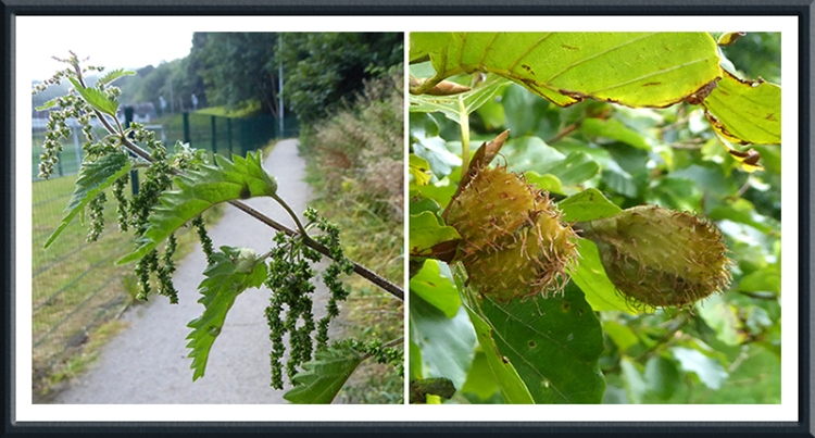 nettle and nut