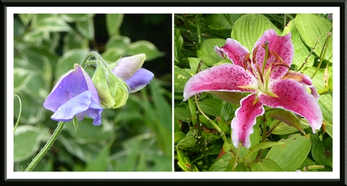 sweet pea and stargazer lily