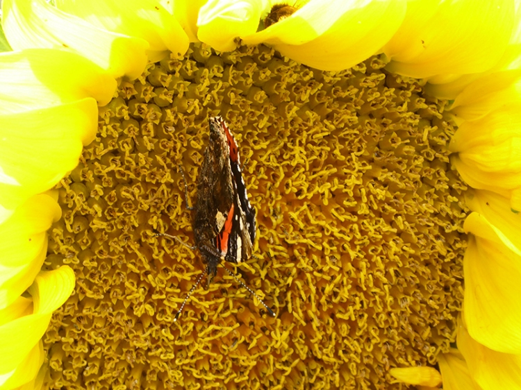 red admiral on sunflower