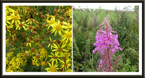 ragwort and willowherb