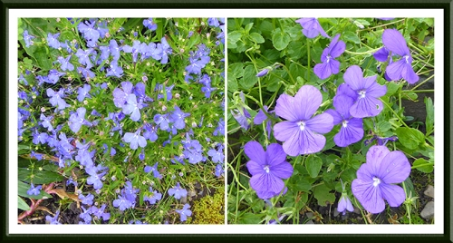 lobelia and viola