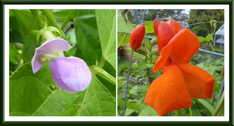 Climbing French and runner beans