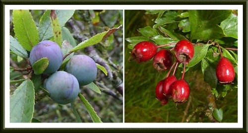 sloes and haws