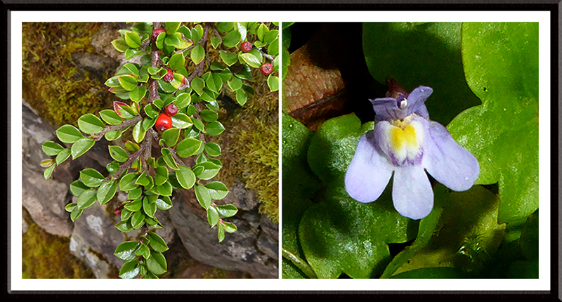cotoneaster and ivy leaved toadflax