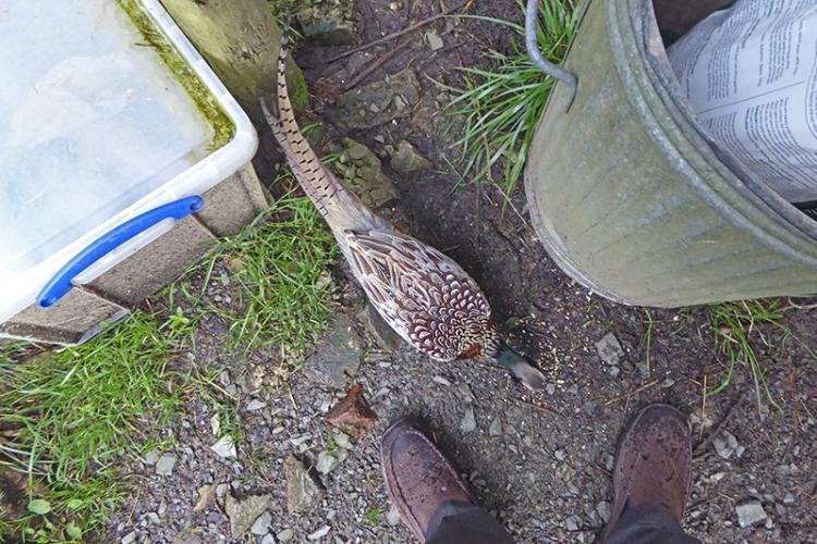 pheasant and feet
