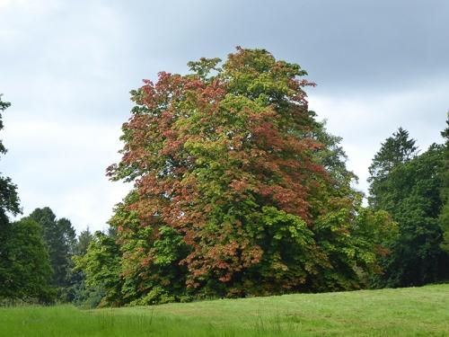 Longwood tree