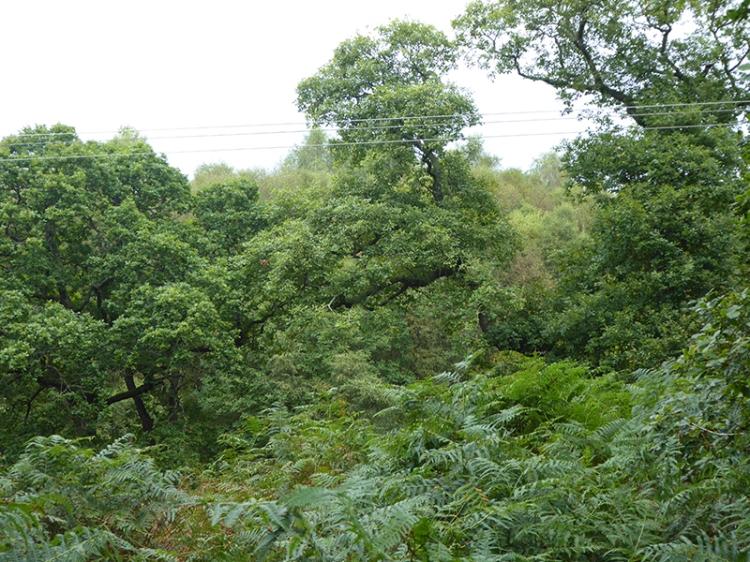 oak woods