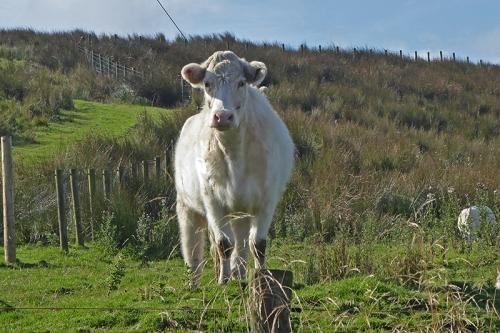 Bloch cow