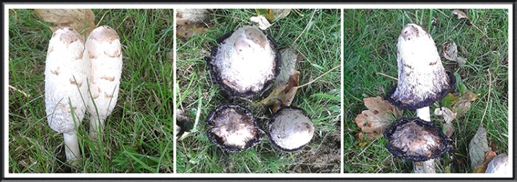 carlisle fungus