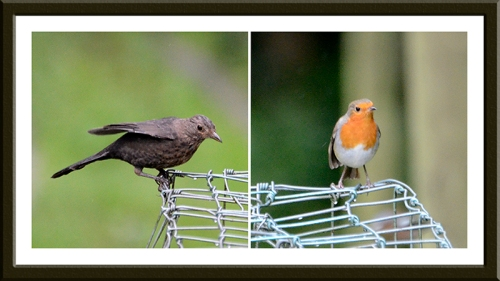 blackbird and robin