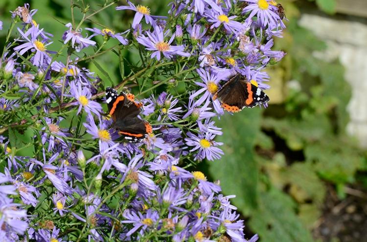 Michaelmas daisies with butterflies