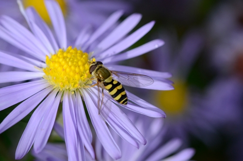 hoverfly on Michaelmas daisy