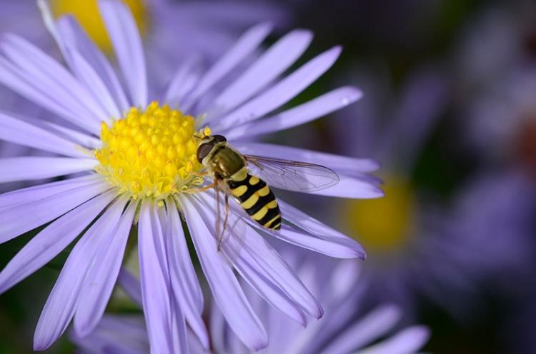 hoverfly on Michaelmas daisy