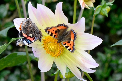 small tortoiseshell and red admiral butterfly