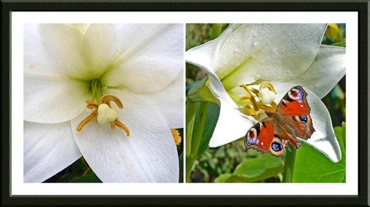 peacock butterfly on lily