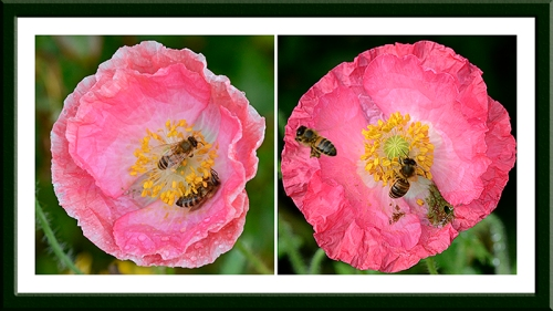 poppies with bees