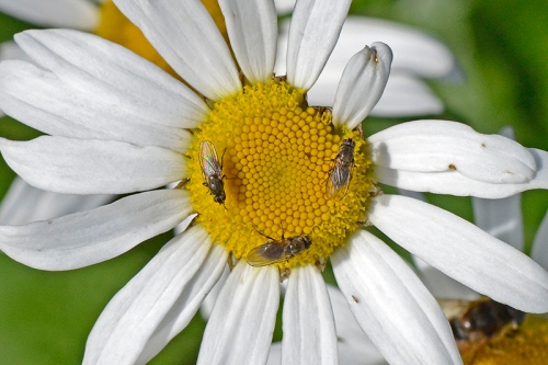 daisy with flies